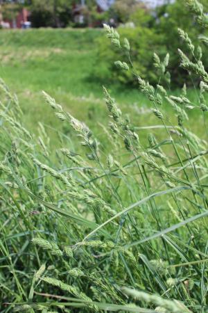 花粉症:シラカバからイネ科へ
