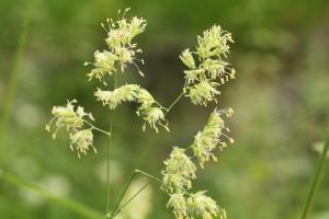 雑草の花粉